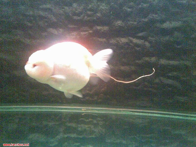 不知道这家伙吃啥了,,,,,中国兰寿网(中国兰寿金鱼网) [chinagoldfish