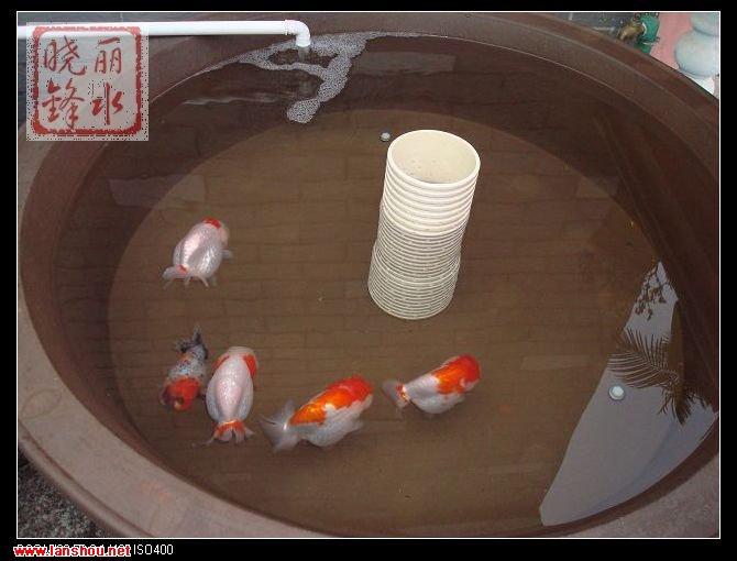 晓锋家中阳台养鱼环镜的制作过程和几条还看得过去的