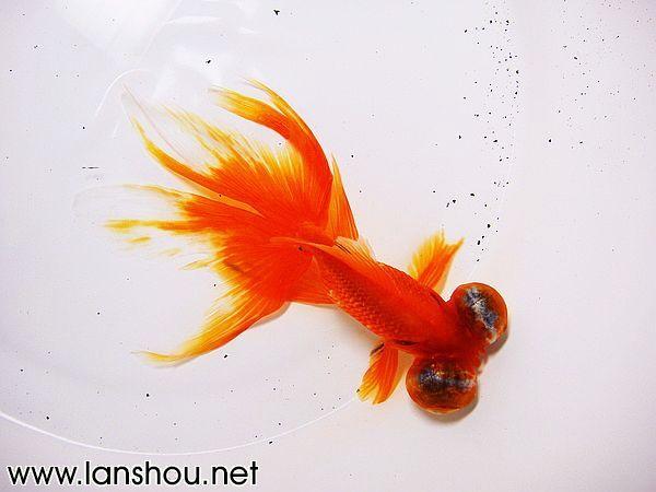 小时候的记忆——中国龙晴金鱼!