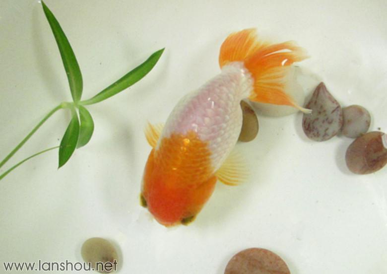红头红尾寿!中国兰寿网(中国兰寿金鱼网)