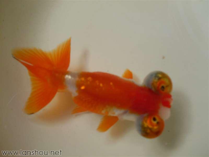 来家一年多了,发图看看中国兰寿网(中国兰寿金鱼网) [chinagoldfish]