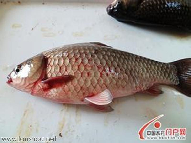 妙用加热棒巧治冬季低温性鱼病几种需要升温治疗的鱼病介绍 牧鱼山人 温度不仅影响水体环境、鱼类的生长,同时也影响着病原体的繁殖,当温度有利于某种病原体的生长和繁殖时,则该种病原体所致的鱼病就会发生,反之则不易出现,所以鱼病的发生受温度的影响至大,不同季节不同水温所出现或流行的鱼病均有所不同,呈现出较强的季节规律性,如春末夏季水温较高时容易流行细菌性鳃病、赤皮病、白皮病、白头白嘴病、肠炎等细菌性鱼病和车轮虫病、黏孢子虫病、杯体虫病等寄生虫性鱼病;而冬季春初气温水温较低时则易出现痘疮病、疱疹病毒病、水霉病、鳃