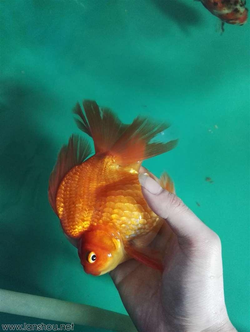 口布折四尾金鱼图解